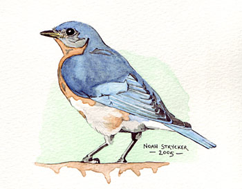 bird watercolor illustrations by noah strycker