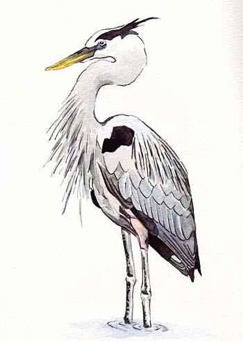 heron bird