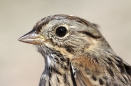 Lincoln\'s Sparrow