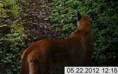 Cougar Closeup