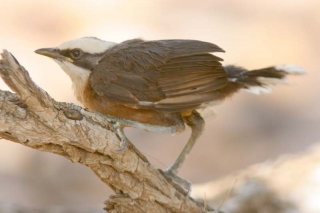 Gray-crowned Babbler