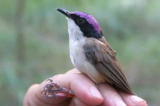 Male Purple-crowned Fairy-Wren