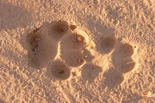 Dingo Tracks