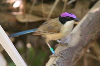 Purple-crowned Fairy-Wren