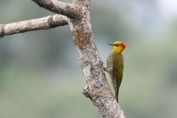 Yellow-throated Woodpecker