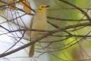 Yellow-tinted Honeyeater