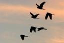 Baudin\'s Cockatoos